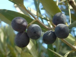 Des olives au bord du chemin