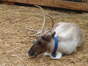 Il y a même des rennes venus tout droit de Laponie...!