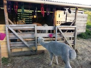Au bout du pont... un élevage de lamas, si, si !