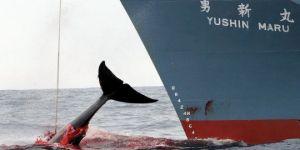 La chasse à la baleine, concrètement, c'est ça... Source : https://archipeldessciences.wordpress.com