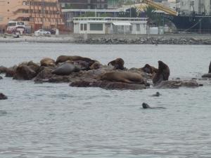 La colonie de lions de mer