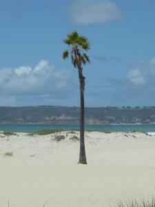 Un palmier esseulé !