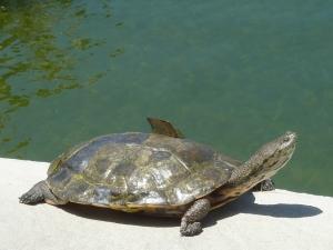 Aviez-vous déjà vu une tortue en train de perdre une écaille ? Ben voilà, c'est fait.