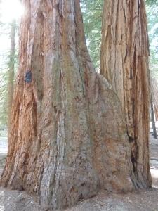 Un séquoia englobe un pin