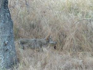 Renard ou coyote ?