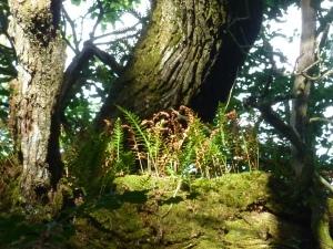 Des fougères poussent sur les branches centenaires