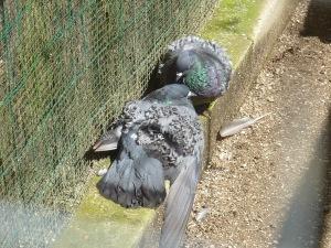 Les pigeons frisés