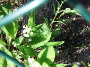 Floraison décalée (du muguet fin juin à Kirkenes)