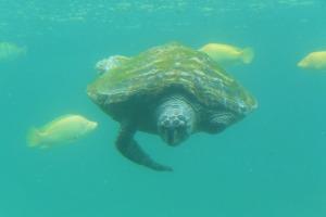 Une tortue amputée par un requin