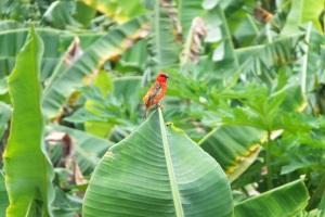 Cardinal sur un bananier