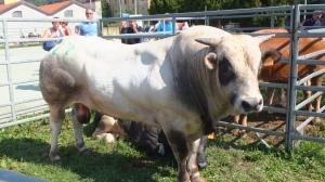 Fête aux bestiaux à l'occasion de la fête de Sant' Abbondio, saint patron de Côme