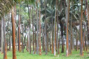 Les palmistes de l'Anse des Cascades