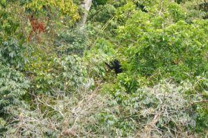 Gibbon mâle