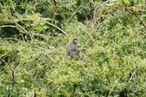 Singes gris à longue queue