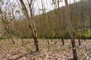 Forêt de caoutchouc près du stûpa