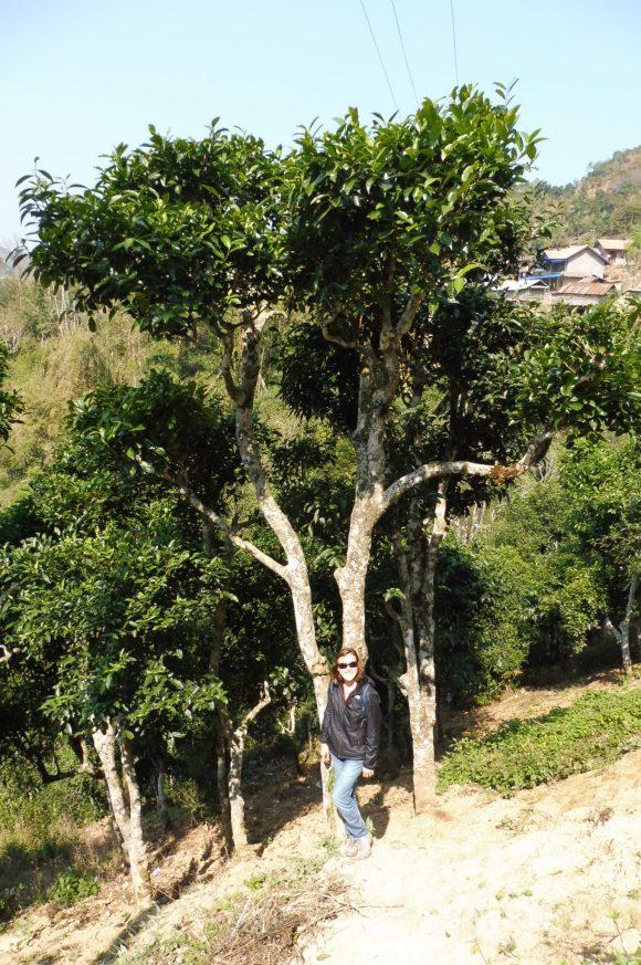 Les arbres à thé géants...