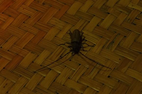 THE coléoptère ! Ne ressemblant pas à un cafard, il a été épargné et a été délicatement remis dehors par Benoît ;-)