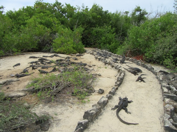 Là ce sont les iguanes marins qui s'étalent sur le chemin...