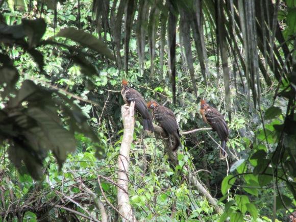Les hoatzins et leurs belles crêtes colorées