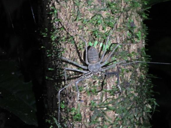 L'araignée scorpion modèle bébé