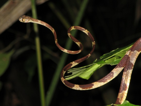 Serpent des bananiers