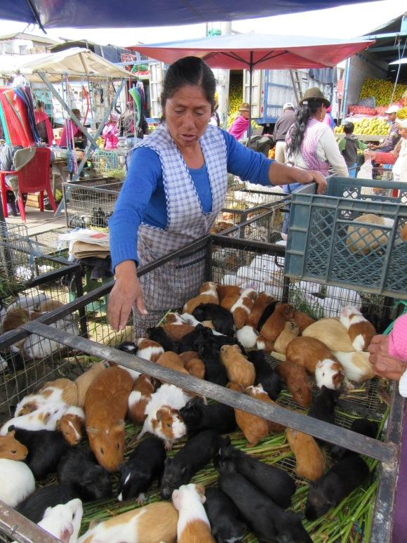 2$ le cuy (cochon d'Inde), ils ne vont pas vivre longtemps ceux-là...