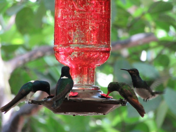 Les colibris viennent boire en face de la salle du petit-déjeuner