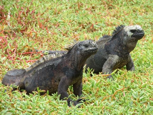 et des iguanes marins