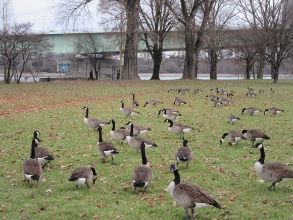 ... qui donnent également sur un joli parc plein d'oies