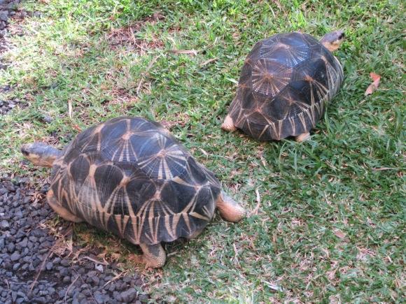 Notre hébergement AirBNB à Ste Philippe incluait les tortues...
